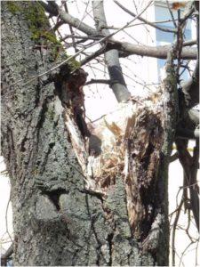 Деревья гниют и разваливаются