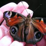 Новое чудо: рождественские бабочки в наших храмах